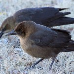 Great-tailed Grackles - Merry Christmas!