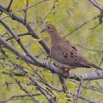 Mourning Dove - Mesquite Tree