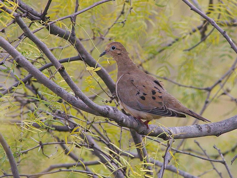 Mourning Dove - Mesquite Tree
