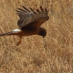 Northern Harrier - Hover Hunting