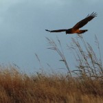 Northern Harrier - Photo Opp