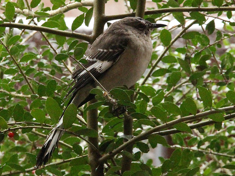 Northern Mockingbird - White Christmas