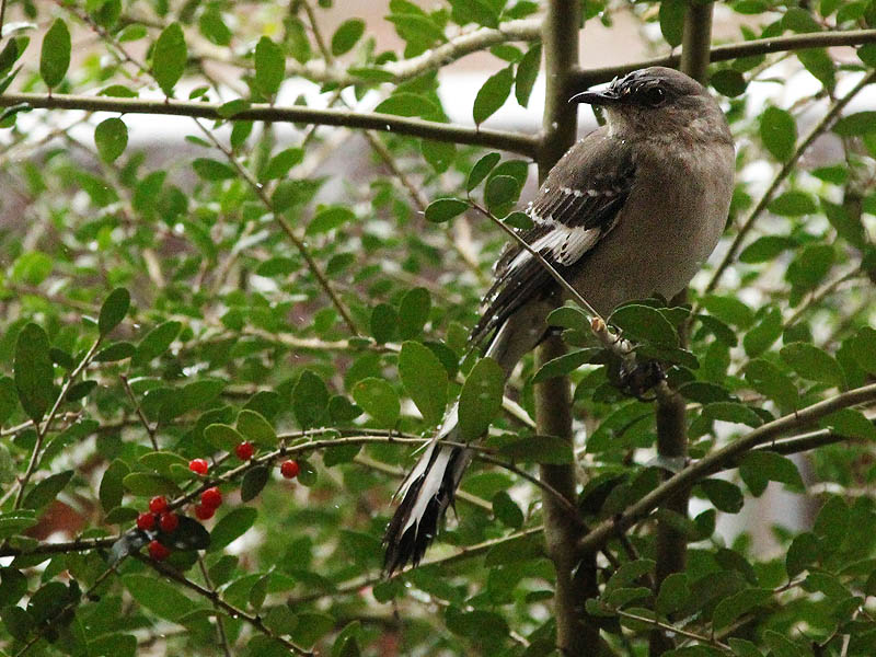 Northern Mockingbird - White Christmas