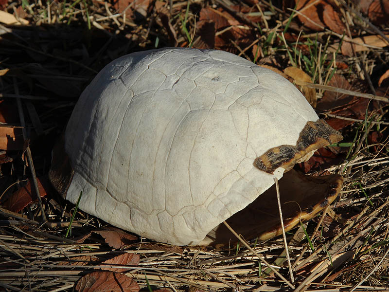 Ornate Box Turtle - Extinct?