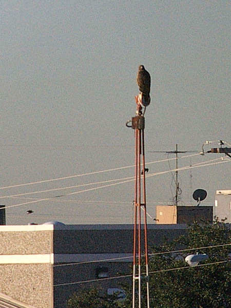 A Red-tailed Hawk perched atop a light at Addison Airport.
