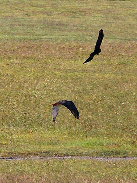 The crows impacted the hawk bodily on several occasions.