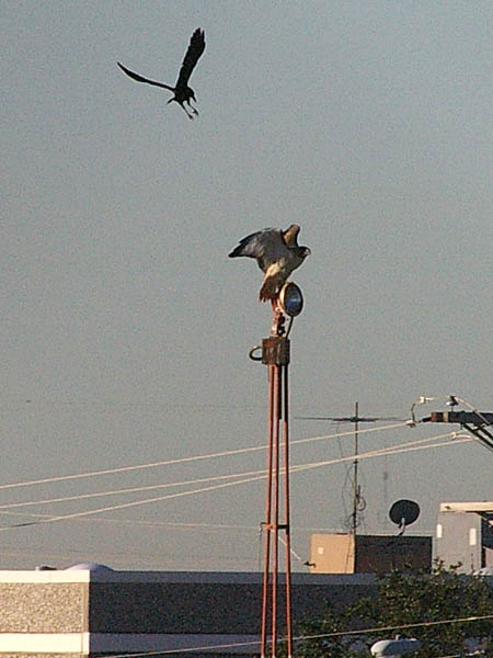 The Red-tailed Hawk tried to find sanctuary back on top of the light tower.