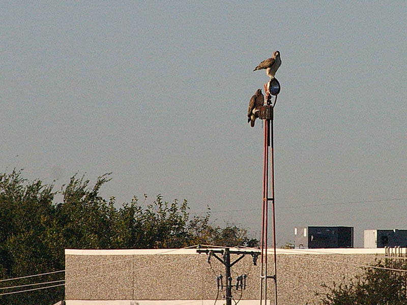 With the crows gone, the first hawk was soon joined by his mate.