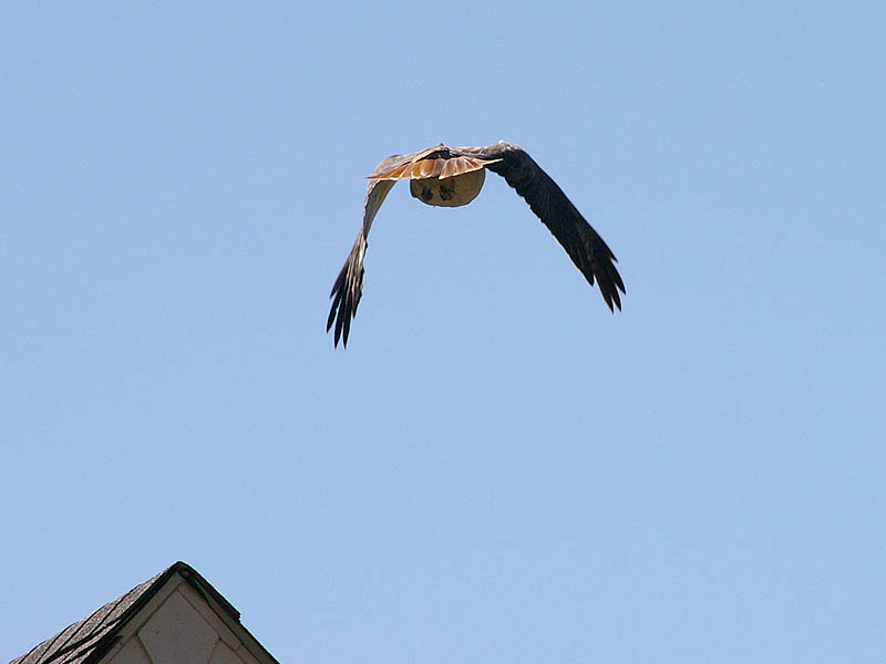 Red-tailed Hawk - Taking Flight002