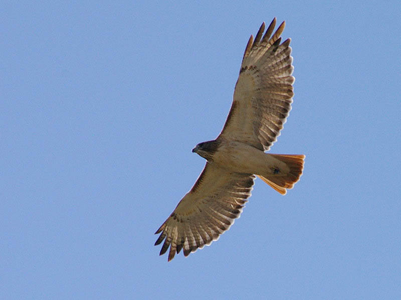 Red-tailed Hawk - Taking Flight003
