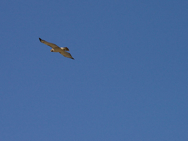 Red-tailed Hawk - Taking Flight