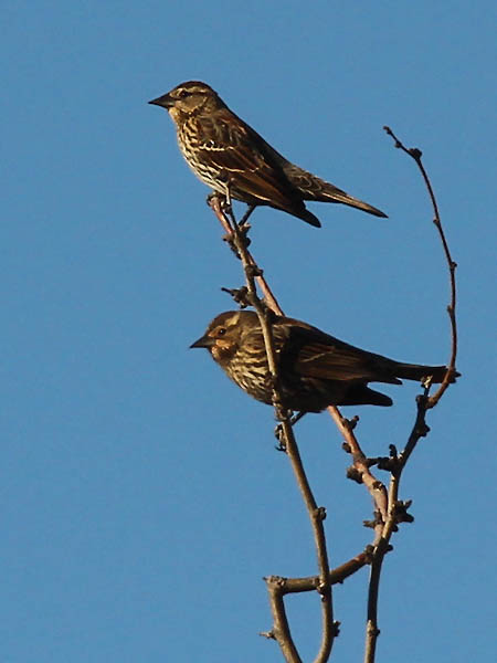 Red-winged Blackbirds - Females