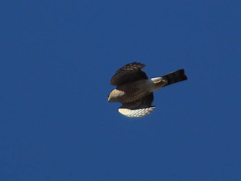 Sharp-shinned Hawk - First Sight