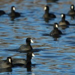 American Coot - Dinner Bell