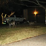 Journal - White-tailed Deer in Austin, Texas