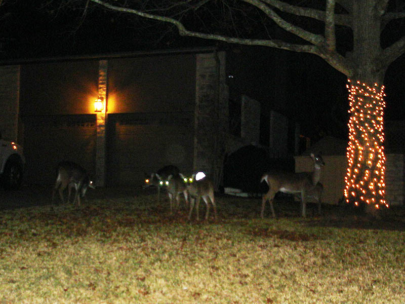 White-tailed Deer in Austin, Texas