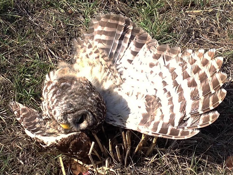 Barred Owl - Unfortunate