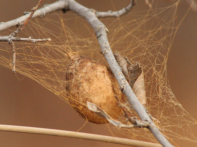 American house spider egg sac - photo#22