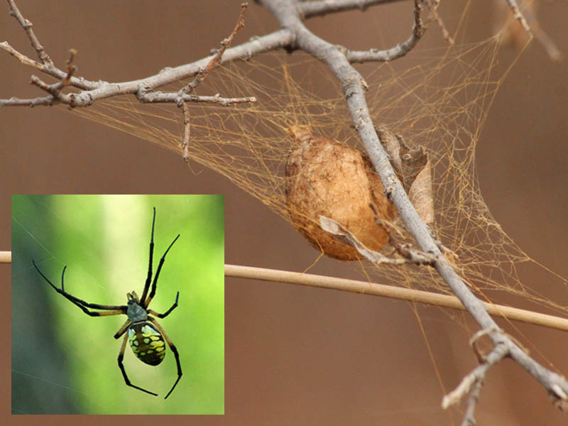 Inset: An adult Black and Yellow Garden Spider.