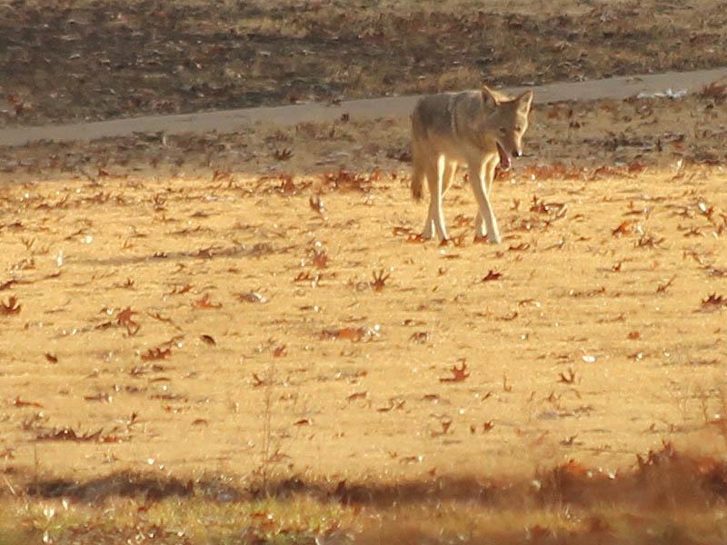 Coyote - Oakridge