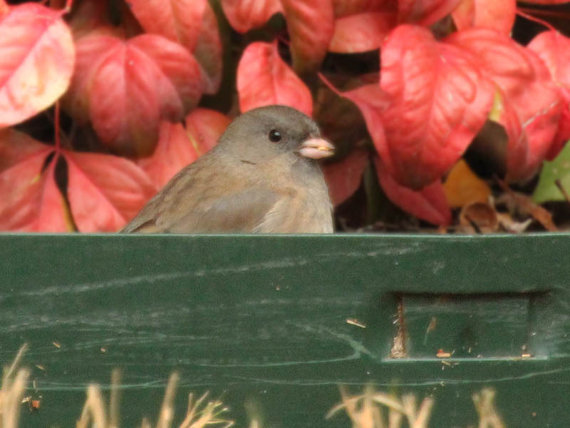 Dark-eyed Junco - Seed Eaters
