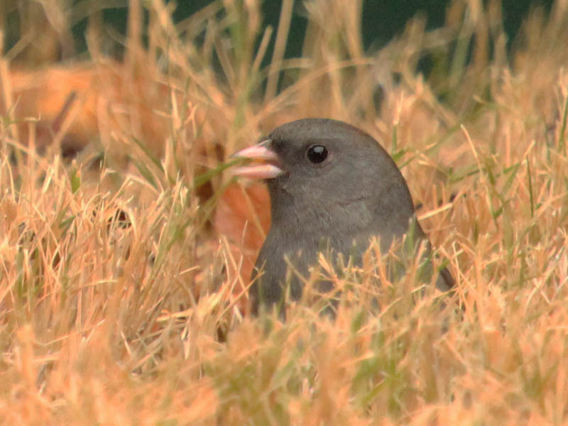 dark-eyedjunco-seedeaters-004