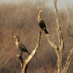 Double-crested Cormorant - Hidden Cove