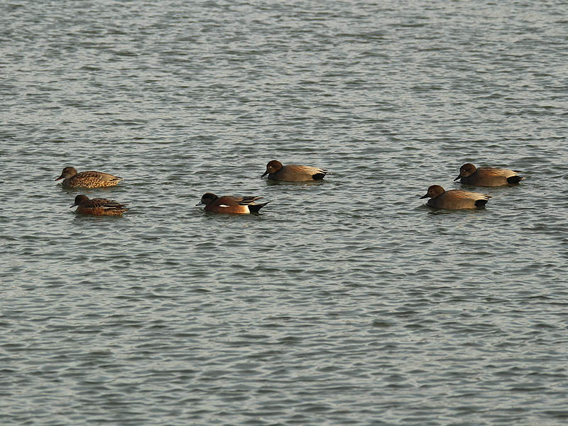 Right to left...  a female Gadwall, a female American Wigeon, a male American Wigeon, and three male Gadwalls.