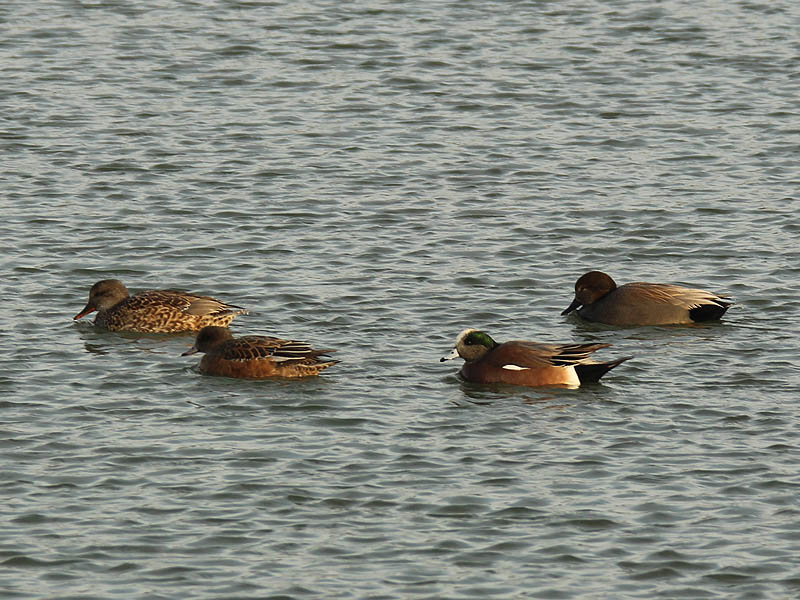 Right to left...  a female Gadwall, a female American Wigeon, a male American Wigeon, and a male Gadwall.