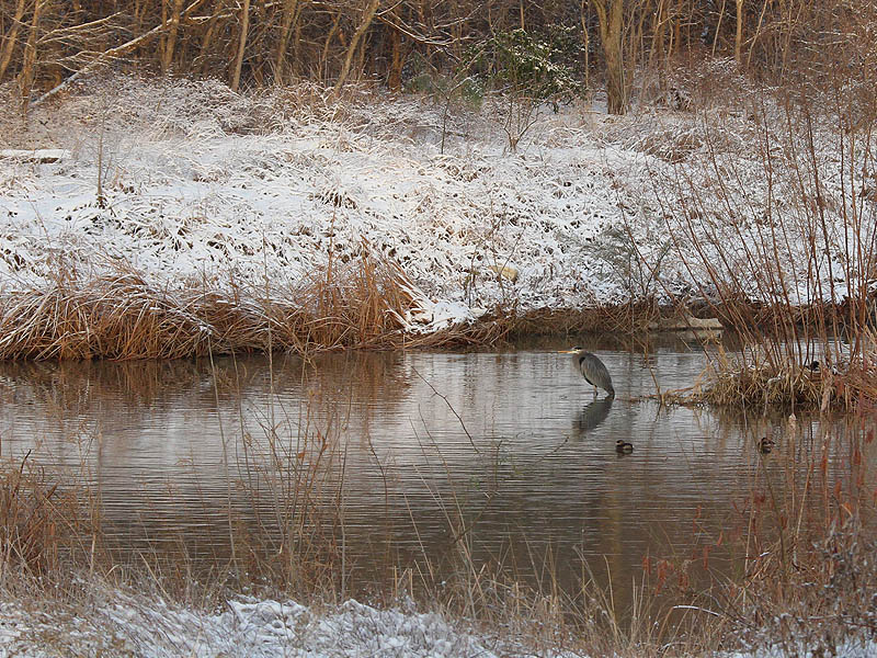 Great Blue Heron - Snow Day