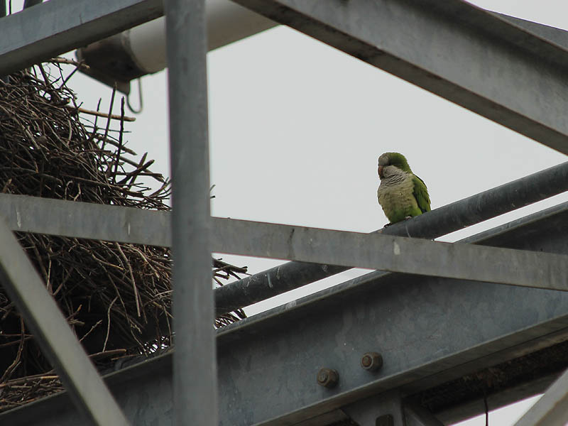 A Monk Parakeet near the entrance to its nest.
