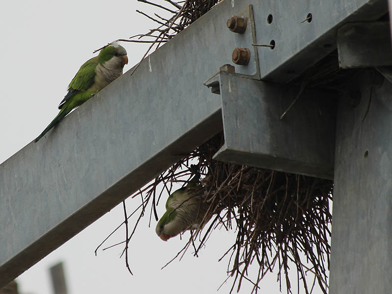 Many of the birds were activity repairing or enlarging their nests.