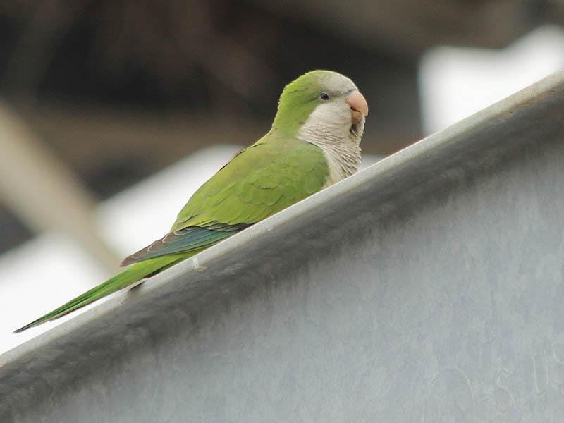 A Monk Parakeet in Richardson, Texas