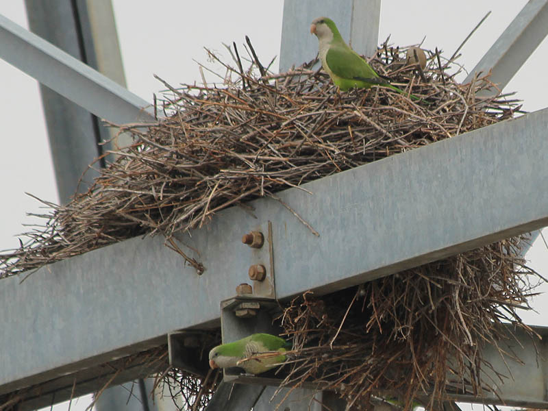 Several birds live in each nest.  They work together to keep the nests in good shape.
