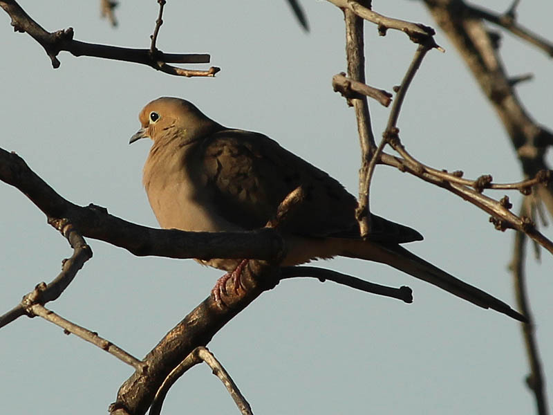 Mourning Dove - Pressure