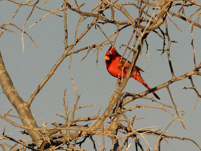 Northern Cardinal - Winter Red