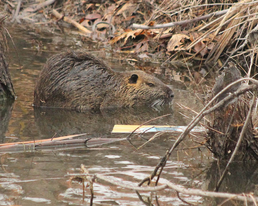 Nutria - In a Beaver Pond