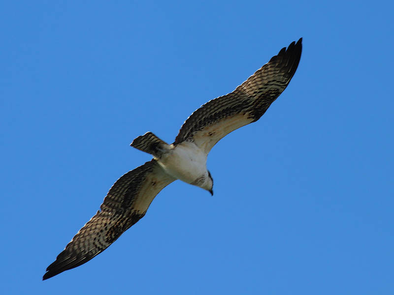 Osprey - Over Castle Hills