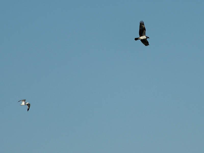 Osprey - Over Castle Hills