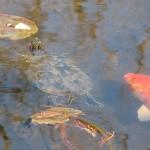 Red-eared Slider - Koi Pond