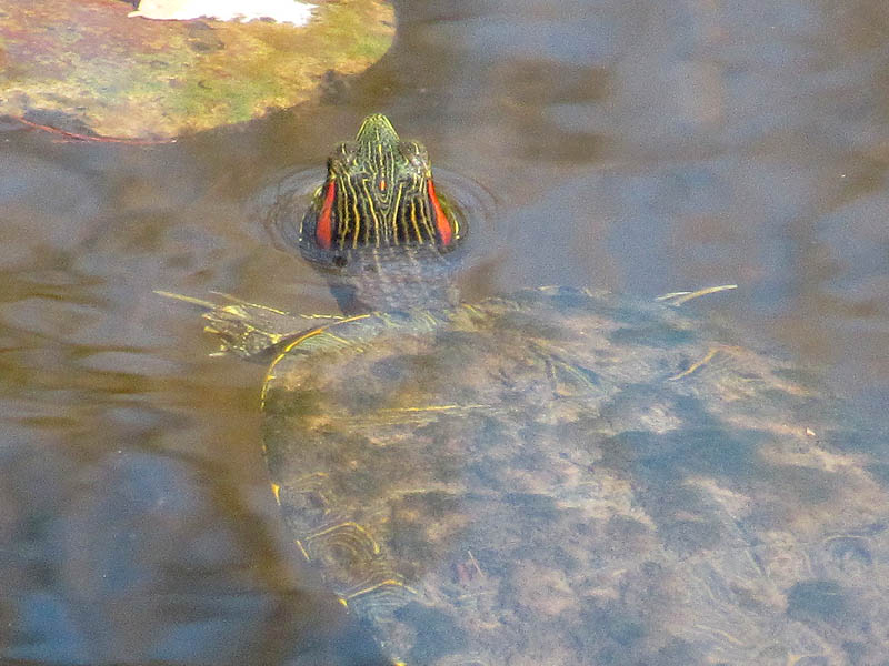 Red-eared Slider - Koi Pond
