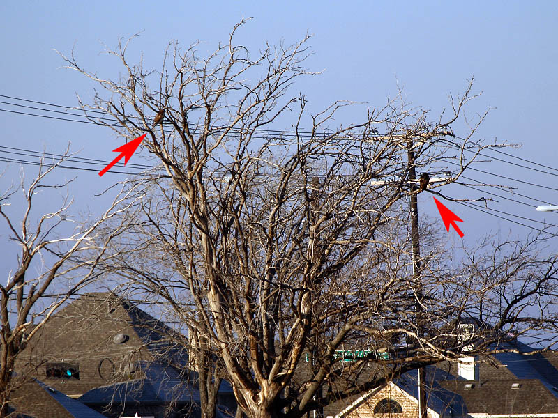 There were two more Red-tailed Hawks in this tree, roughly 100 yards/meters from the other three birds.