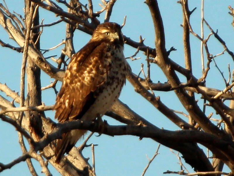This hawk sports the coloration of a typical North Texas Red-tailed Hawk.