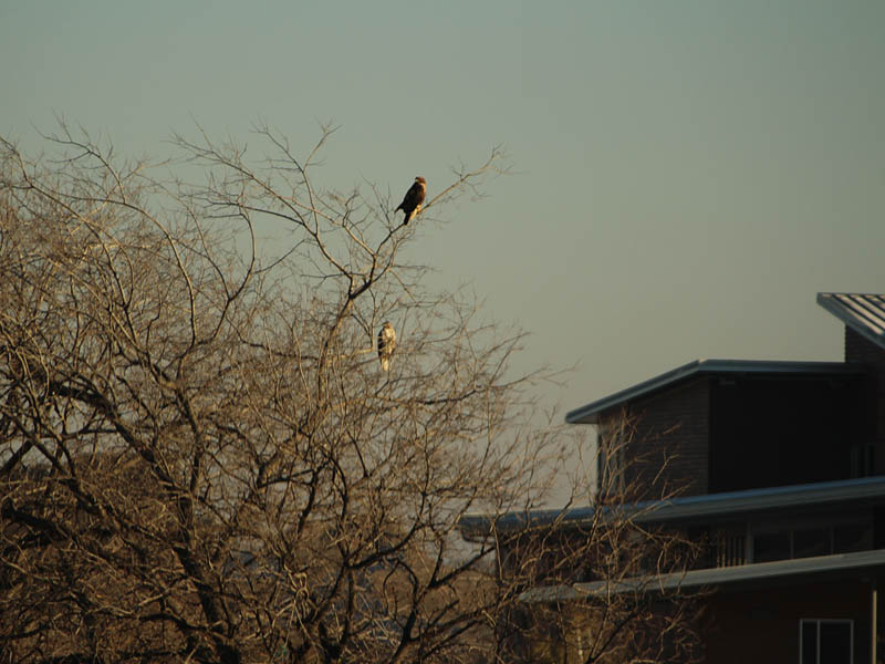 As I watched the hawks would sometimes trade positions with each other.  These two hawks are watching as a third bird approaches.
