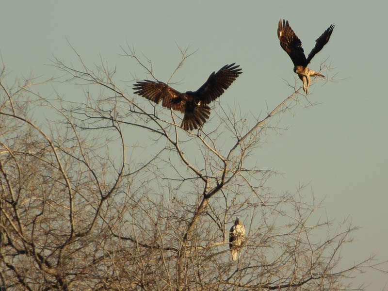 The third hawk's arrive causes some commotion.