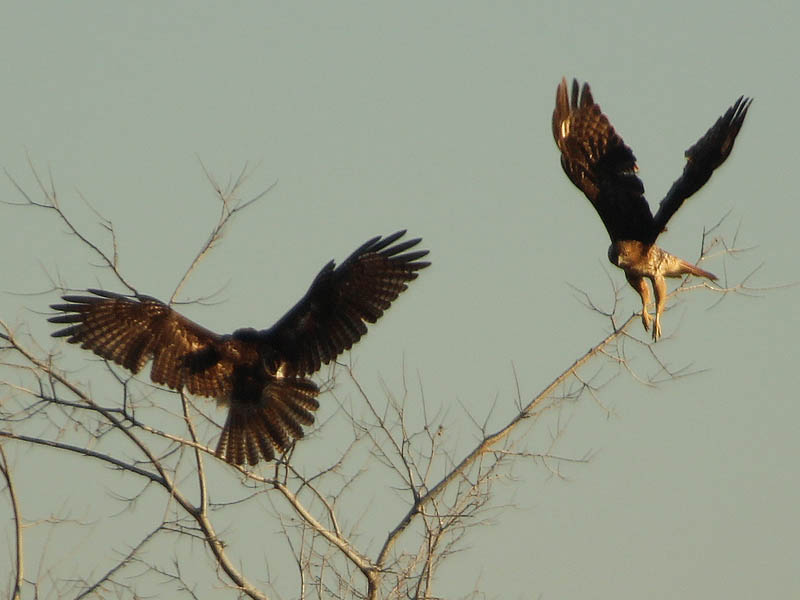 Red-tailed Hawks in Lewisville, Texas.