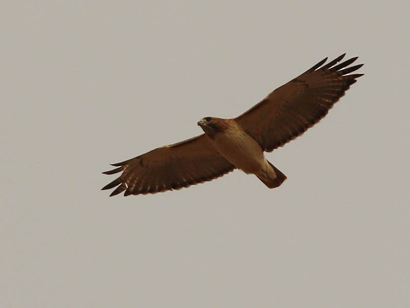 Red-tailed Hawk - Greenbelt