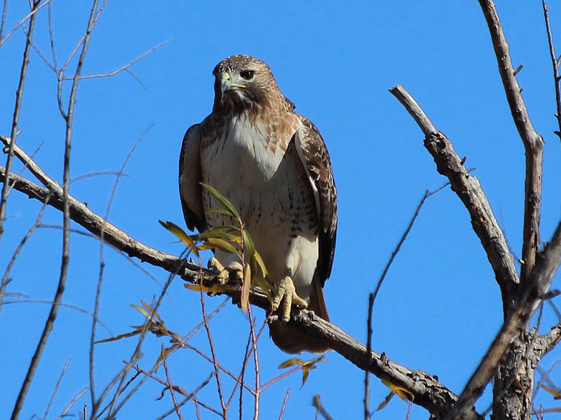 Red-tailed Hawk - Mobile