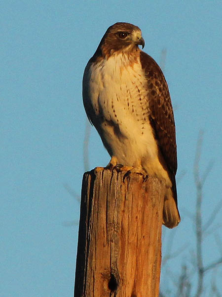 Continuing on his hunting rounds, the Red-tailed Hawk moved to another pole closer to the lake.