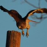 Red-tailed Hawk - Mouse Hunter